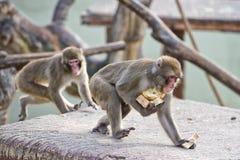 Japanisches Makakenaffeporträt Lizenzfreies Stockfoto