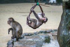 Japanisches Makakenbaby, das von einer Rebe hängt und draußen spielt Stockfotografie