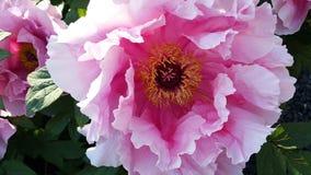 Japanisches Rosa Pfingstrosenblume lizenzfreie stockfotografie