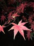 Japanisches rotes Ahornholz lizenzfreies stockbild