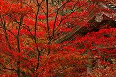 Japanisches rotes Ahornholz Stockfoto