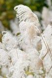 Japanisches silbernes Gras stockfoto