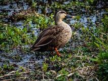 Japanisches spotbill ducken Stellung neben einem Fluss lizenzfreies stockbild