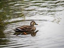 Japanisches spotbill in einem Teich 1 stockfotos