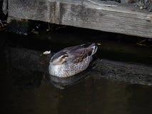 Japanisches spotbill steht auf einem Fluss 1 still lizenzfreie stockfotos