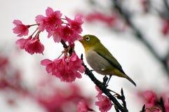 Japanisches weißes Auge auf einem Kirschblüten-Baum Stockbild