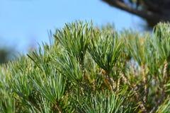 Japanise azul-needled White Pine fotografía de archivo