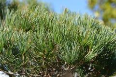 Japanise azul-needled White Pine imágenes de archivo libres de regalías