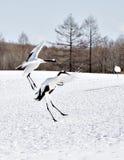 Japankranar som hoppar i kurtis royaltyfri bild
