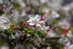 Japanner die crabapple bloeien royalty-vrije stock fotografie