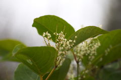 Japanner knotweed Stock Foto