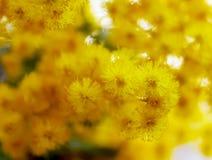 关闭美丽的黄色含羞草花在japannese庭院里 免版税图库摄影