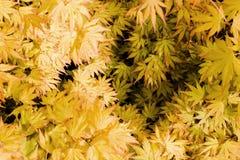 Japans Acer, Palmatum scheenbeen-Deshojo Royalty-vrije Stock Afbeelding