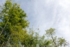 Japans Bamboe en Blauwe Hemel in Nekoemon-koffie chiang MAI Thailand stock foto's