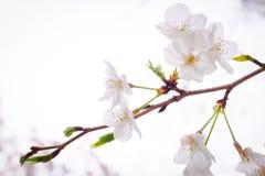 Japans Cherry Blossom met Zachte Nadruk Stock Afbeeldingen
