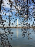 Japans Cherry Blossom in Washington DC Stock Foto