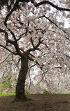 Japans Cherry Blossoms Royalty-vrije Stock Afbeelding