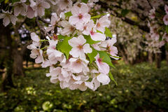 Japans Cherry Blossoms Stock Foto