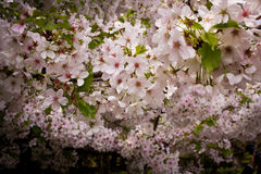 Japans Cherry Blossoms Stock Fotografie