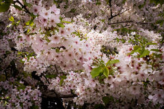 Japans Cherry Blossoms Royalty-vrije Stock Foto