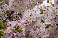 Japans Cherry Blossoms Stock Foto's