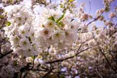 Japans Cherry Blossoms Royalty-vrije Stock Foto's