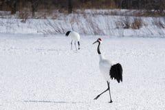 Japans Crane Walking op Sneeuw stock fotografie