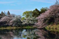 Japans de Lentelandschap van Witte Cherry Blossoms-bezinningen Royalty-vrije Stock Foto's