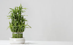 Japans Gelukkig Bamboe Royalty-vrije Stock Afbeeldingen