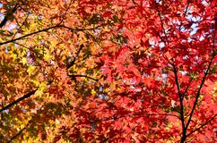 Japans Herbstlaub. Stockbilder