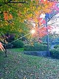 Japans rood blad stock foto