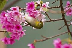 Japans wit-Oog met roze kersenbloesems Royalty-vrije Stock Afbeelding
