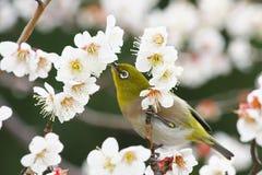 Japans wit-Oog in Prunus Mume Royalty-vrije Stock Afbeeldingen