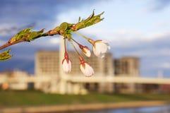 Japansakura blomning framme av stadsbyggnader i Kaunas Litauen Royaltyfri Foto
