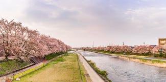 Japansakura träd längs flodbanken i Japan Arkivbild