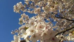 Japanse樱桃Blossem 3 免版税图库摄影