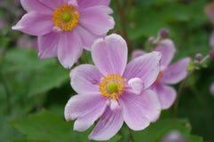 Japanse Aemone-bloemen royalty-vrije stock foto's