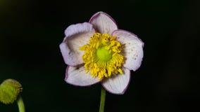 Japanse Anemoon, Anemoonhupehensis, bloem bij bloembedclose-up, selectieve nadruk, ondiepe DOF stock afbeelding
