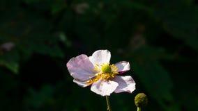 Japanse Anemoon, Anemoonhupehensis, bloem bij bloembedclose-up, selectieve nadruk, ondiepe DOF stock foto