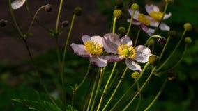 Japanse Anemoon, Anemoonhupehensis, bloemen bij bloembedclose-up, selectieve nadruk, ondiepe DOF stock foto