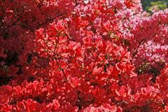 Japanse Azalea's in de lente Stock Afbeeldingen