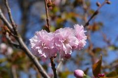 Japanse bloeiende kers Kanzan stock afbeelding