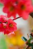 Japanse bloeiende kweepeer Stock Foto's
