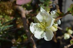 Japanse bloeiende kweepeer stock afbeelding