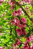 Japanse bloemen van appel op de takken in de lente stock foto