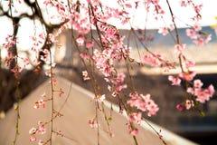 Japanse bloemensakura op boom met Zojoji-Tempel dicht bij de toren van Tokyo op 30 Maart, 2017 Stock Foto's