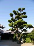 Japanse boom op de tempelbinnenplaats stock afbeeldingen