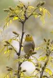 Japanse Brilvogel, Japanese White-eye, Zosterops japonicus royalty free stock images