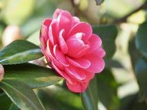 Japanse Camellia Flower stock afbeeldingen
