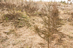 Japanse ceder jonge bomen Stock Afbeelding